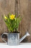 Gele narcissen in zilveren gieter op houten achtergrond Stock Foto's