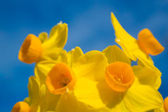 Gele narcissenbloem stock foto's