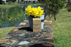 Gele narcissenbloemen in emmer in park die om schenkingen vragen Stock Foto