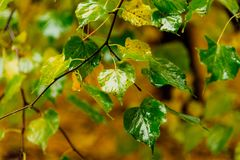 Gele natte bladeren in het Park op de boom Stock Foto's