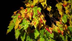 Gele natte bladeren op boom die op wind in regen bij nacht beven stock footage