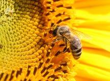 Gele Nectar Royalty-vrije Stock Afbeelding