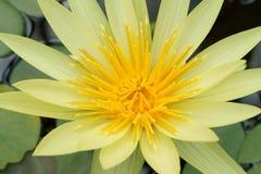 Gele Nymphaea Royalty-vrije Stock Afbeeldingen