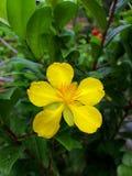 Gele Ochna-serrulatabloem stock afbeelding