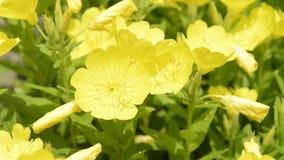 Gele odorata en de bij van Oenothera stock video