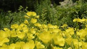 Gele odorata en de bij van Oenothera stock footage