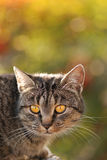 Gele ogen van een kat Stock Fotografie