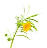 Gele oleander Royalty-vrije Stock Afbeeldingen