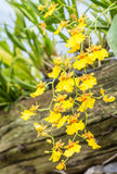 Gele oncidiumorchidee stock foto's