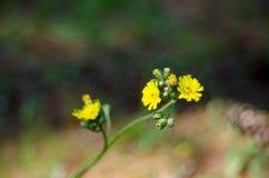 Gele Onkruidbloem De boterbloem, sluit omhoog op zonovergoten ochtendgebied Stock Afbeeldingen