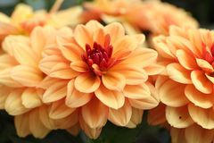 Gele, oranje Dahliapinnata Cav in Tuin Stock Afbeelding