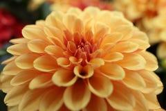 Gele, oranje Dahliapinnata Cav in Tuin Royalty-vrije Stock Foto's