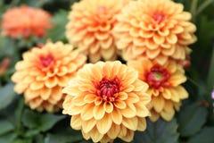 Gele, oranje Dahliapinnata Cav in Tuin Royalty-vrije Stock Foto