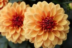 Gele, oranje Dahliapinnata Cav in Tuin Royalty-vrije Stock Afbeeldingen