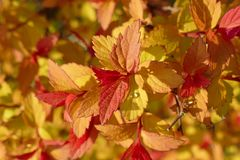 Gele, oranje en rode bladeren van Weigela Florida 02 royalty-vrije stock foto