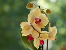 Gele orchideeën stock foto