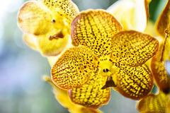Gele orchideeën Royalty-vrije Stock Foto's