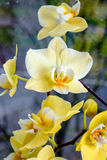 Gele orchideeën Stock Afbeelding