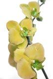 Gele orchideeën stock afbeeldingen