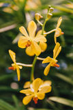 Gele Orchideeën met Groene Bladerenachtergrond Stock Fotografie