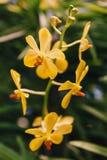 Gele Orchideeën met Groene Bladerenachtergrond Royalty-vrije Stock Afbeeldingen