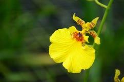 Gele Orchidee royalty-vrije stock foto