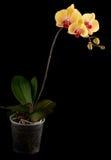 Gele orchidee royalty-vrije stock fotografie