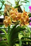 Gele orchidee. Royalty-vrije Stock Fotografie