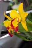 Gele orchidee 03 stock afbeelding