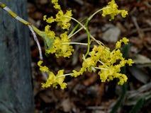Gele Orchidee Stock Afbeelding