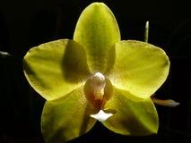 Gele Orchidee Stock Foto