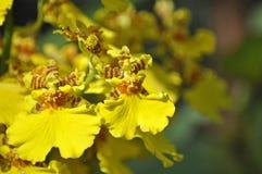 Gele orchidee of dansen-Dame op onduidelijk beeldachtergrond Royalty-vrije Stock Fotografie