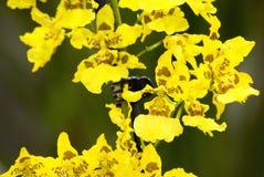 Gele orchidee (hybride Oncidium) Stock Fotografie