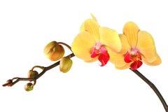 Gele orchidee met knoppen 4. Stock Afbeelding