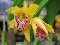 Gele Orchideebloei Stock Fotografie