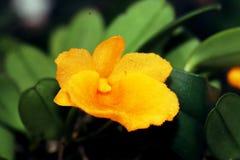 Gele Orchideebloem Royalty-vrije Stock Afbeeldingen