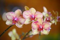 Gele orchideebloem Phalaenopsis Stock Afbeeldingen