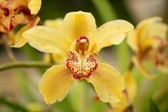 Gele orchideebloemen royalty-vrije stock foto's