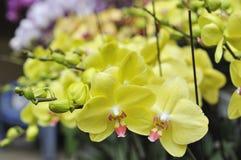 Gele orchideebloemen Royalty-vrije Stock Afbeeldingen