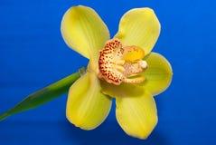 Gele orchideeclose-up Royalty-vrije Stock Afbeelding