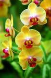 Gele Orchideeën Stock Foto's