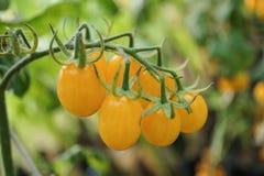 Gele organische tomaten in tuin royalty-vrije stock afbeeldingen