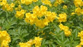 Gele Oudere Bloem, Gele ouder, Trumpetbush, Trumpetflower, Gele trompet-bloem, Gele trumpetbush, tecoma stans stock videobeelden