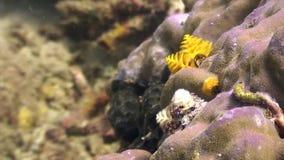 Gele overzeese wormen in koraal in oceaan van het wild Filippijnen stock videobeelden