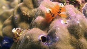 Gele overzeese wormen in koraal onderwater in oceaan van het wild Filippijnen stock footage