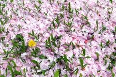 Gele paardebloem en kersenbloesem stock fotografie