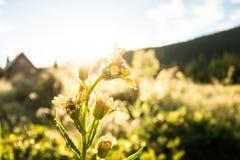 Gele paardebloembloem in de dauw in het licht van de zon bij DA Stock Foto's