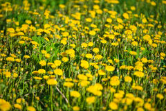 Gele paardebloembloemen Stock Afbeeldingen