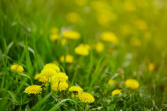 Gele paardebloembloemen Stock Afbeelding