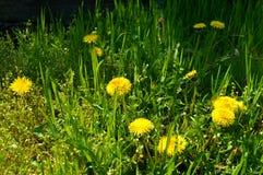Gele paardebloembloemen in groen gras in de stralen van de zon Stock Afbeelding